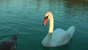 Κύκνοι στη λίμνη απόθεμα βίντεο