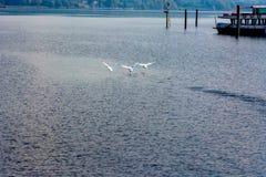 Κύκνοι στη λίμνη Lago Maggiore Στοκ φωτογραφίες με δικαίωμα ελεύθερης χρήσης