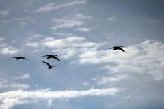 Κύκνοι στον ουρανό Στοκ φωτογραφία με δικαίωμα ελεύθερης χρήσης