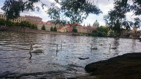 Κύκνοι στον ποταμό Στοκ Φωτογραφία