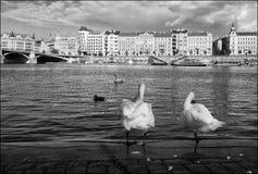 κύκνοι της Πράγας cesky τσεχική πόλης όψη δημοκρατιών krumlov μεσαιωνική παλαιά μαύρο λευκό Στοκ φωτογραφία με δικαίωμα ελεύθερης χρήσης