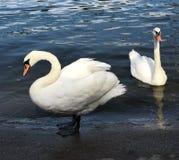κύκνοι δύο λευκό Στοκ Εικόνα