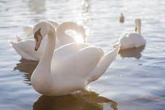 Κύκνοι Στοκ εικόνες με δικαίωμα ελεύθερης χρήσης