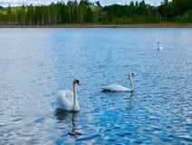 κύκνοι Στοκ φωτογραφία με δικαίωμα ελεύθερης χρήσης