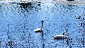 Κύκνοι Trumpeter, αστερισμός του Κύκνου βυκανητής, ζευγάρι των πουλιών στη λίμνη απόθεμα βίντεο