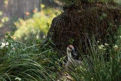 Κύκνος αποκαλούμενο χήνα Anser cygnoides κάτω από έναν ψεκαστήρα Στοκ φωτογραφία με δικαίωμα ελεύθερης χρήσης