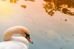 Κύκνος από το νερό Στοκ φωτογραφία με δικαίωμα ελεύθερης χρήσης