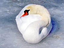 Κύκνος λιμνών του Τορόντου στον πάγο 2013 Στοκ Εικόνες