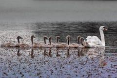 Κύκνος και νεοσσοί στη λίμνη Στοκ φωτογραφίες με δικαίωμα ελεύθερης χρήσης