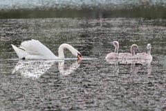 Κύκνος και νεοσσοί στη λίμνη Στοκ Φωτογραφίες