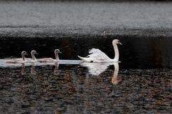 Κύκνος και νεοσσοί στη λίμνη Στοκ Εικόνα