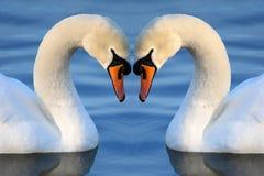 κύκνος καρδιών Στοκ εικόνες με δικαίωμα ελεύθερης χρήσης