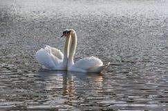κύκνος λιμνών ζευγών Στοκ Φωτογραφίες
