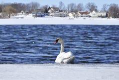κύκνος λιμνών Στοκ Φωτογραφίες