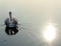 κύκνος λιμνών Στοκ εικόνες με δικαίωμα ελεύθερης χρήσης