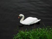 Κύκνος με τη χλόη Στοκ φωτογραφίες με δικαίωμα ελεύθερης χρήσης