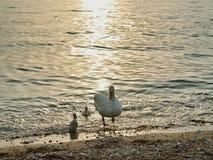 Κύκνος με τους μικρούς κύκνους που στην ακτή στη διάθεση βραδιού Στοκ φωτογραφίες με δικαίωμα ελεύθερης χρήσης
