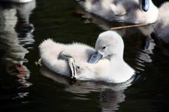 κύκνος μωρών Στοκ Φωτογραφία