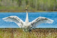 Κύκνος που διαδίδει τα φτερά στοκ εικόνες