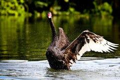 Κύκνος που επιδεικνύει τα όμορφα φτερά του στοκ εικόνες