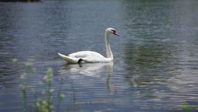 Κύκνος που κολυμπά στη λίμνη στην ηλιόλουστη θερινή ημέρα απόθεμα βίντεο