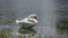 Κύκνος που στέκεται στη λίμνη στην ηλιόλουστη θερινή ημέρα φιλμ μικρού μήκους