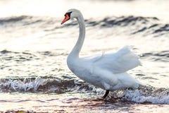Κύκνος που στέκεται στο νερό Στοκ Εικόνες
