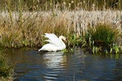 Κύκνος που τεντώνει τα φτερά του στον ήλιο Στοκ Εικόνες