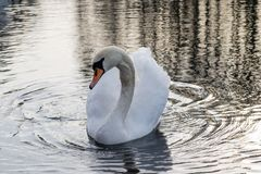 κύκνος σε μια ήρεμη λίμνη φθινοπώρου Εποχή και λίμνη φθινοπώρου με τον κύκνο Στοκ φωτογραφίες με δικαίωμα ελεύθερης χρήσης