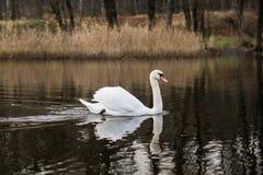 κύκνος σε μια ήρεμη λίμνη φθινοπώρου Εποχή και λίμνη φθινοπώρου με τον κύκνο Στοκ Εικόνες