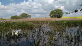 Κύκνος σε μια δασική λίμνη Khmelnytskyi Ουκρανία 5 ελών φιλμ μικρού μήκους