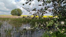 Κύκνος σε μια δασική λίμνη Khmelnytskyi Ουκρανία 4 ελών απόθεμα βίντεο