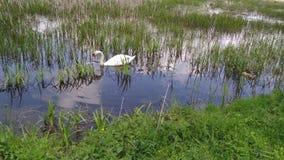 Κύκνος σε μια δασική λίμνη Khmelnytskyi Ουκρανία ελών φιλμ μικρού μήκους