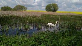 Κύκνος σε μια δασική λίμνη Khmelnytskyi Ουκρανία ελών απόθεμα βίντεο