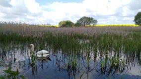 Κύκνος σε μια δασική λίμνη Khmelnytskyi Ουκρανία 3 ελών απόθεμα βίντεο