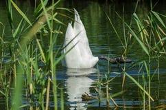 Κύκνος Στενό wiev στον άσπρο κύκνο με το κεφάλι του κάτω από το νερό στον ποταμό στους καλάμους Στοκ Φωτογραφίες