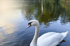 Κύκνος στην ήρεμη ειδυλλιακή λίμνη Στοκ Φωτογραφίες