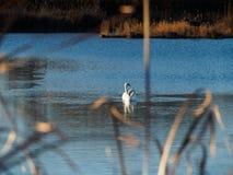 Κύκνος στην επιφάνεια της λίμνης Στοκ Φωτογραφίες