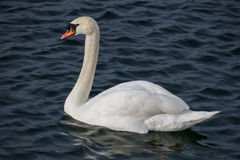 Κύκνος στη λίμνη Στοκ φωτογραφίες με δικαίωμα ελεύθερης χρήσης