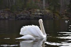 Κύκνος στη λίμνη Στοκ Εικόνες