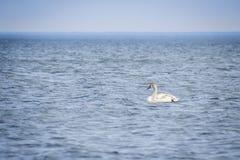 Κύκνος στη βαθιά μπλε θάλασσα 2 Στοκ Εικόνες