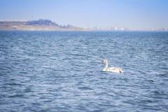 Κύκνος στη βαθιά μπλε θάλασσα 1 Στοκ φωτογραφία με δικαίωμα ελεύθερης χρήσης