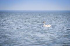 Κύκνος στη βαθιά μπλε θάλασσα 3 Στοκ Φωτογραφία