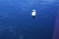 Κύκνος στη Γερμανία Στοκ φωτογραφίες με δικαίωμα ελεύθερης χρήσης