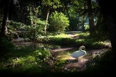 Κύκνος στον ήλιο σε ένα δάσος που λούζεται στον κολπίσκο στοκ εικόνα