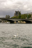 Κύκνος στον ποταμό Σηκουάνας Στοκ Εικόνες