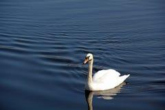 Κύκνος στον ποταμό Nith Σκωτία στοκ εικόνα με δικαίωμα ελεύθερης χρήσης