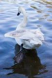 Κύκνος το φτερό που διευρύνεται με Στοκ Εικόνες