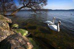 κύκνος Στοκ εικόνες με δικαίωμα ελεύθερης χρήσης