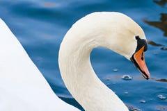 Κύκνος Στοκ εικόνα με δικαίωμα ελεύθερης χρήσης
